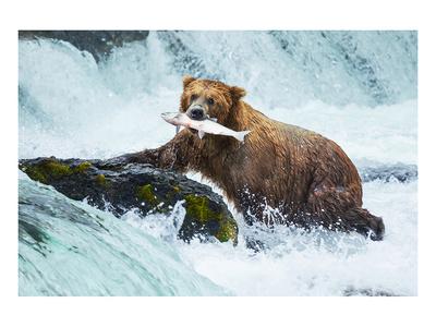 Salmon Fishing Grizzly Alaska Posters