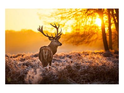 Red Deer in Morning Sun Posters