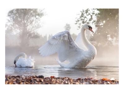 Swan Stretching on Misty Lake Prints