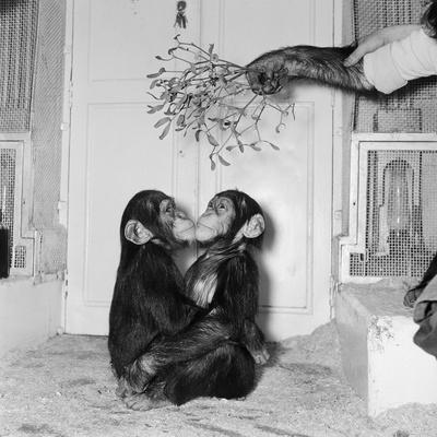 Chimpanzees of Bertram Mills Circus, 1955 Photographic Print by  Chapman