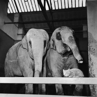 Belle Vue Zoo, 1962 Photographic Print by Howard Walker