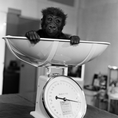 Baby Gorilla, Tips the Scales at 8Lbs 12Ozs 1976 Photographic Print by Freddie Reed