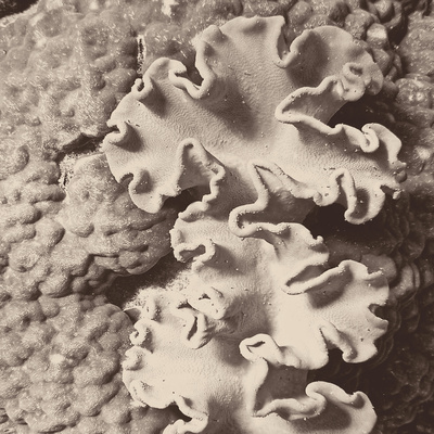 Sepia Barrier Reef Coral IV Photographic Print by Kathy Mansfield
