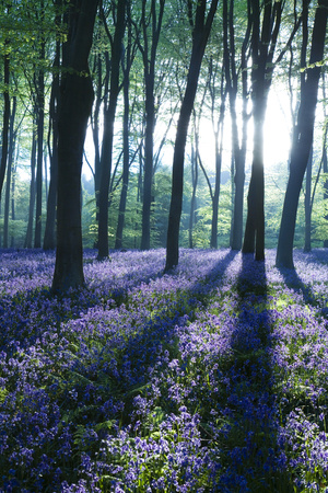 Sunlight Through Treetrunks in Bluebell Woods, Micheldever, Hampshire, England Photographic Print by David Clapp