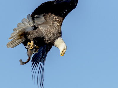 Bald Eagle flying in Wisconsin Photographic Print by Tim Denny