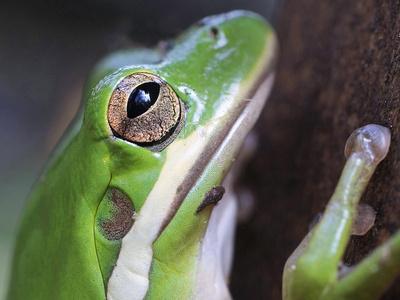 Amphibian Green Tree Frog in Alabama Photographic Print by Julia Bartosh