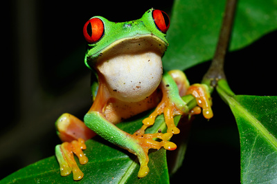 Amphibians Tree Frog in Honduras Photographic Print by John Rollins