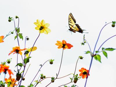 Tiger Swallowtail butterfly in Mexico City Fotografisk tryk af Kip Kriigel