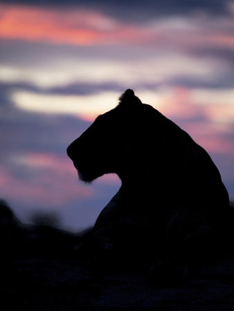 Wild cat lioness silhouette in Botswana Photographic Print by Beth Stewart