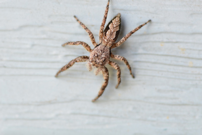 Arachnid furry brown spider in New York Photographic Print by David Crance