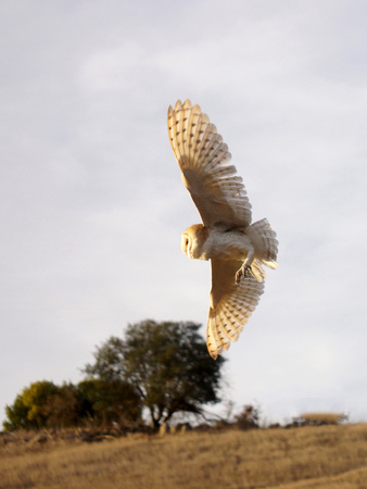 Barn Owl flying in California Photographic Print by Ruth McDunn