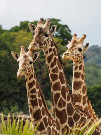Giraffes in safari park in California Photographic Print by Joanne Panizzera