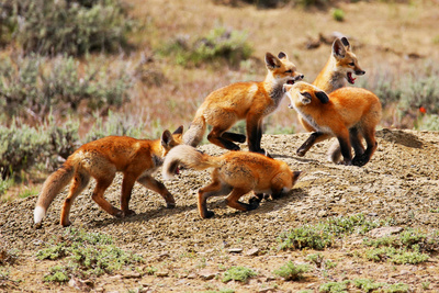 Red Fox family in Colorado Photographic Print by Patrick Brennan Jr