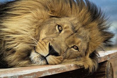 Wild cat male lion portrait in Arizona Fotografisk tryk af Leighton Lum