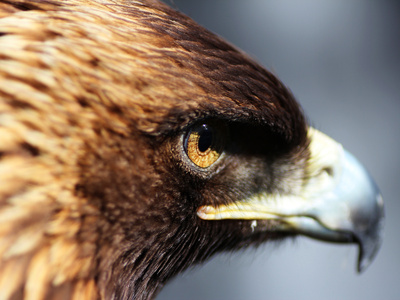 Golden Eagle portrait in California Photographic Print by Peggy Hankins