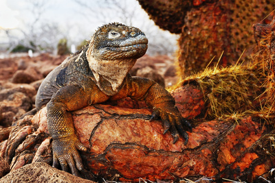 Reptile colorful Iguana in Galapagos Islands Fotografie-Druck von John Rollins