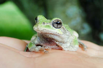 Amphibian Frog in palm of hand in Michigan Photographic Print by Rachel Patterson