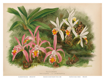 Orchids - Illustration from The Orchid Album (1887) Art by John Nugent Fitch