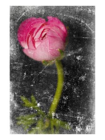 Ranunculus Pink Prints