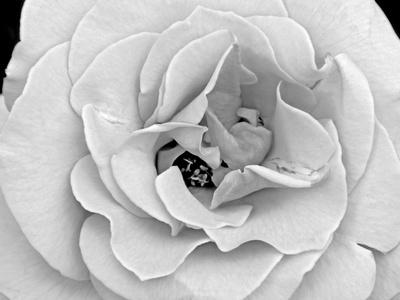 A Delicate and Splendid Rose Opens Up Her Petals Kunst på metal af Raymond Gehman
