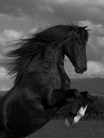 Black Peruvian Paso Stallion Rearing, Sante Fe, NM, USA Premium Photographic Print by Carol Walker