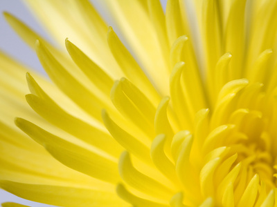 Close Up of the Petals of a Yellow Chrysanthemum Flower Kunst på metal af Vickie Lewis