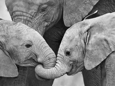 African Elephant Calves (Loxodonta Africana) Holding Trunks, Tanzania Stampa fotografica