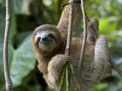 Young Brown-Throated Three-Toed Sloth Hanging from a Branch Kunst på metal af Roy Toft