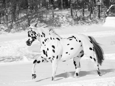 Appaloosa Horse Trotting Through Snow, USA Premium Photographic Print by Lynn M. Stone