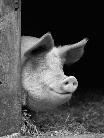 Domestic Pig Looking out of Stable, Europe Premium Photographic Print by  Reinhard
