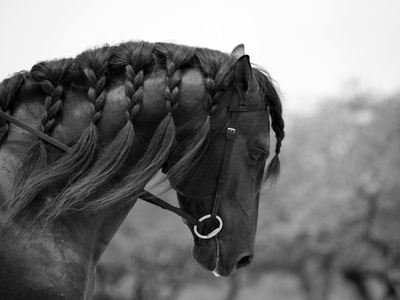 Bay Andalusian Stallion, with Plaited Mane and Bridle, Austin Texas, USA Premium Photographic Print by Carol Walker