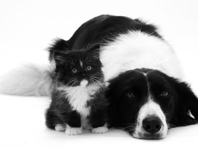 Black-And-White Border Collie Lying Chin on Floor with Black-And-White Kitten Premium Photographic Print by Jane Burton