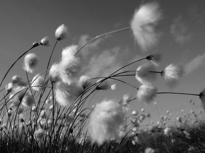 Cotton Grass, Blowing in Wind Against Blue Sky, Norway Premium Photographic Print by Pete Cairns
