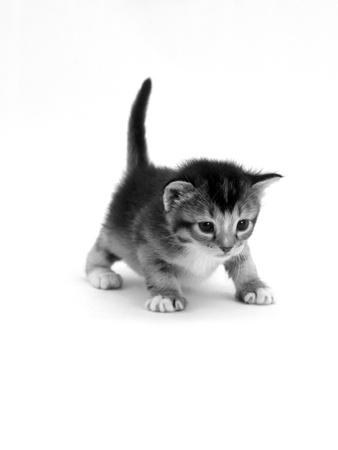 Domestic Cat, 3-Week Ticked-Tabby Kitten Premium Photographic Print by Jane Burton