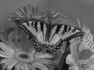 Eastern Tiger Swallowtail Female on Gerber Daisies, Sammamish, Washington, USA Photographic Print by Darrell Gulin
