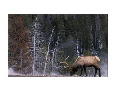 Bull Elk, Wyoming Prints by Art Wolfe