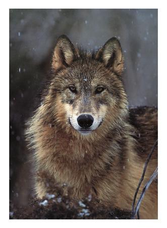 Woodland Pride, Montana Láminas por Art Wolfe