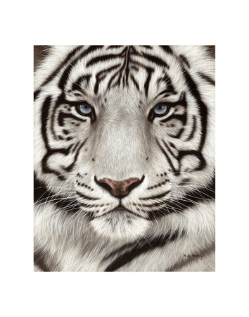 White Tiger Face Portrait Prints by Rachel Stribbling