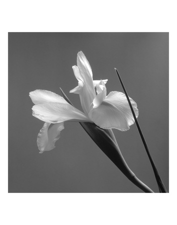 Iris IV Prints by Tom Artin