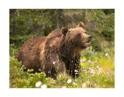 Grizzly Bear Print by Jason Savage