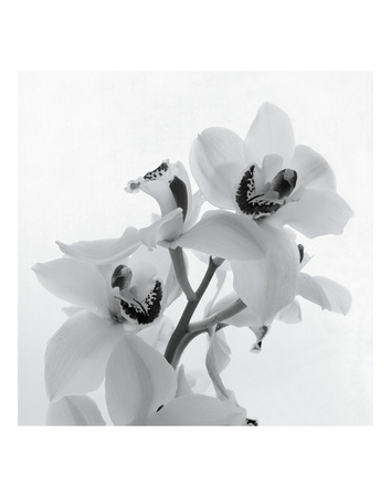 Orchid Spray II Posters by Tom Artin