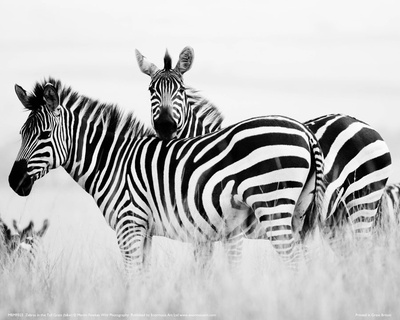 Zebras in the Tall Grass Full Bleed (b&w) Giclee Print by Martin Fowkes