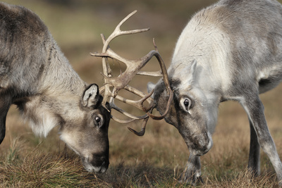 Reindeer Fighting Photographic Print by Laurie Campbell