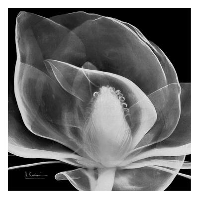 Midnight Queen Magnolia Posters by Albert Koetsier