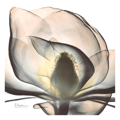 Magnolia Beauty Posters by Albert Koetsier