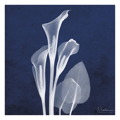 Three Indigo Calla Lilies Print by Albert Koetsier