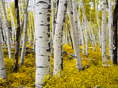 Aspen Forest in Autumn Photographic Print by  Leieng