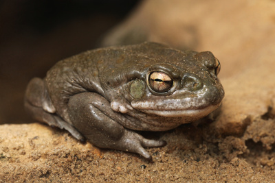 Colorado River Toad (Incilius Alvarius), also known as the Sonoran Desert Toad. Wild Life Animal. Photographic Print by  wrangel