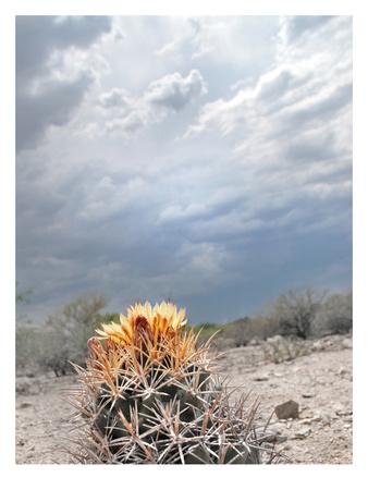 Lonely Cactus Blossom Prints by Murray Bolesta