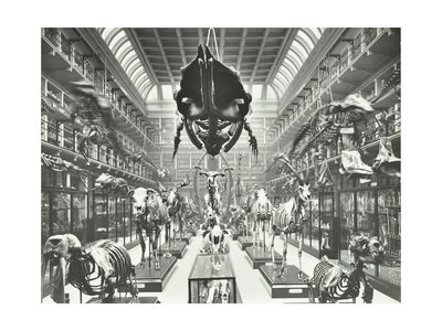 Animal Skeletons at the Royal College of Surgeons, Westminster, London, 1911 Photographic Print